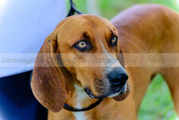 The Virginia Hound Foxhound Club