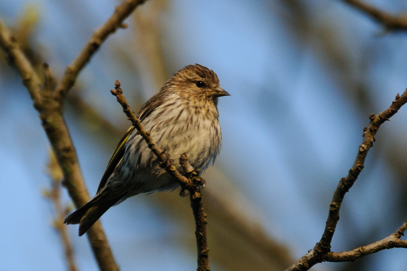 We've gotten another round of pine siskins.