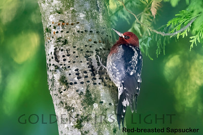 Red-breasted Sapsucker, Lake Oswego OR, USA
