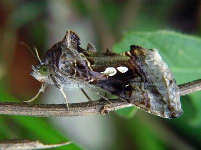 subfamily Plusinae