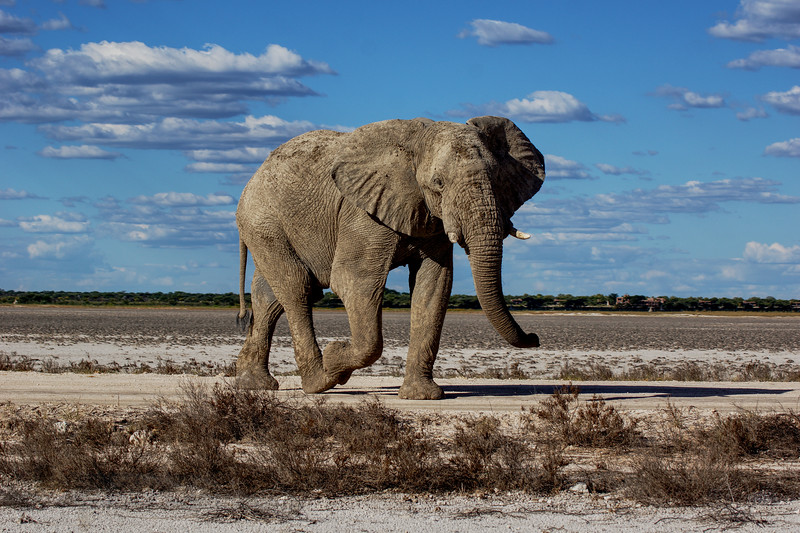 Elephant - Annoyed Elephant in Musth blocking the road in Etosha National Park