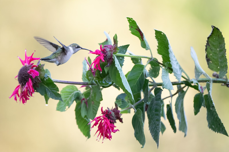 #1735 Ruby-throated Hummingbird