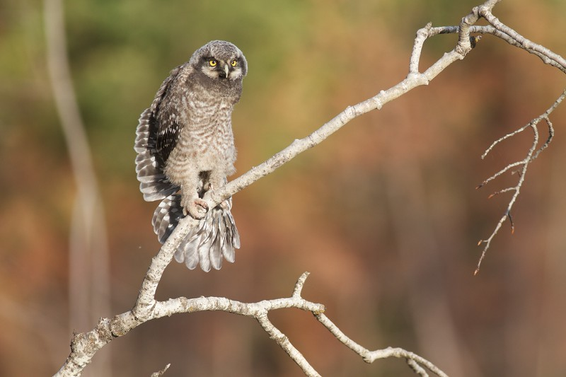 Northern Hawk Owl baby juvenile Owl Ave Sax-Zim Bog MN IMG_1157.jpg