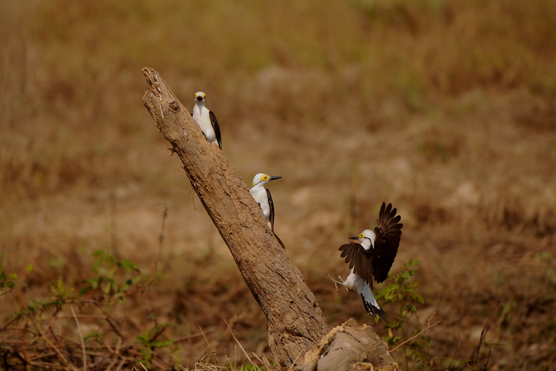 White Woodpecker, Melanerpes candidus. Transpantaneira, Mato Grosso, Brasil.
