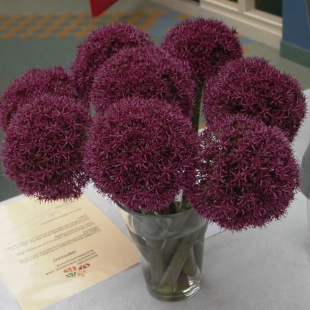 Allium  'Ostara'.jpg