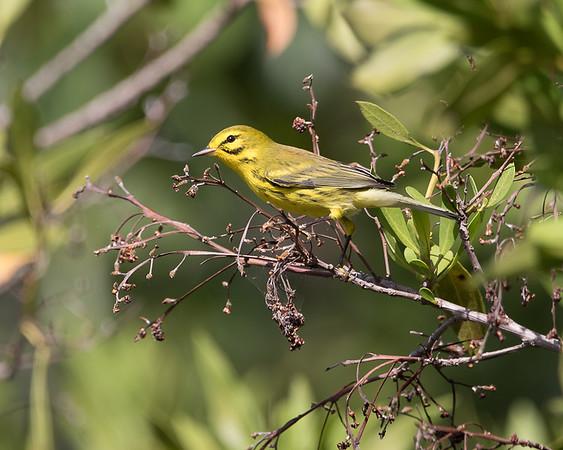 BIRDS - Wood Warblers