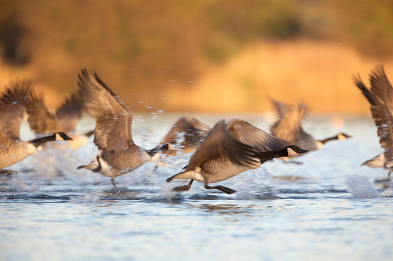 Canada Geese - 3493.jpg