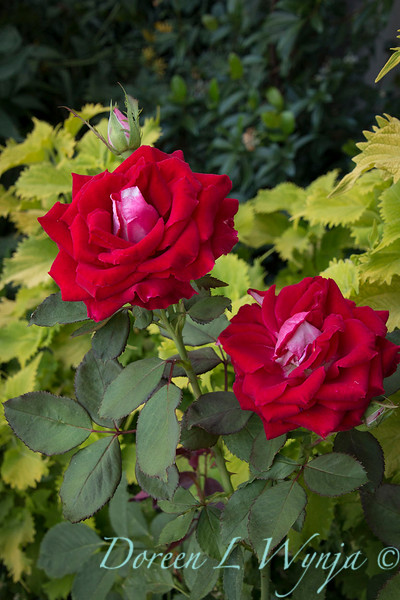 Rosa 04-00578 0r 06-02042_5276.jpg