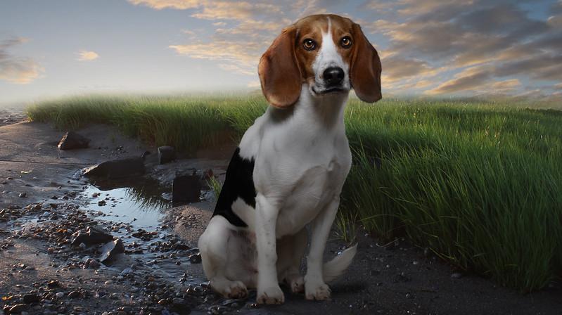 Beagle-1z.jpg