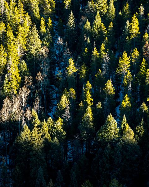 Green Gold Tree Maxwell Falls-1.jpg