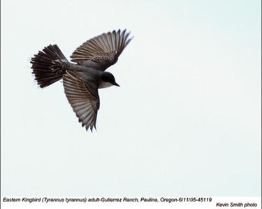 EasternKingbird45119.jpg