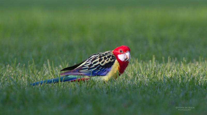 Eastern Rosella, Wollongong Botanical Gardens, NSW, Aus, Jun 2013.jpg