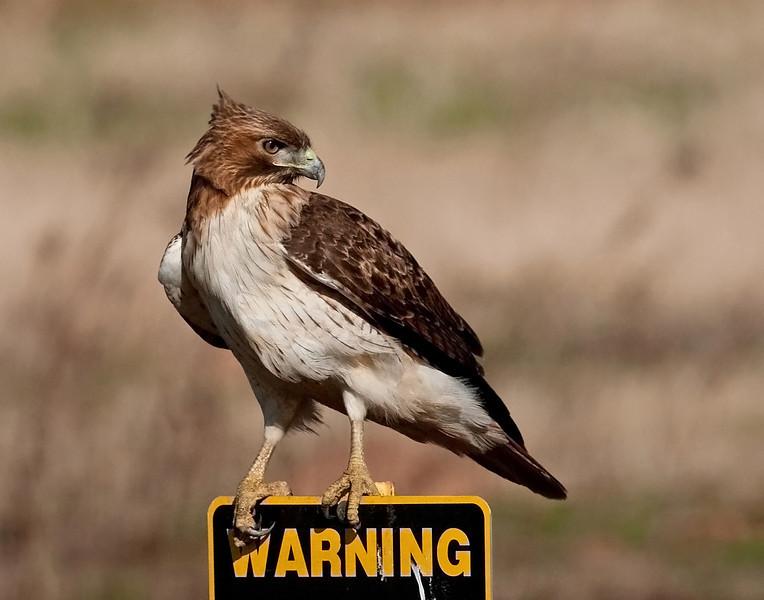 Red-tailed Hawk Warning Sugar Land, TX