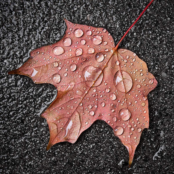 Maple leaf in the rain