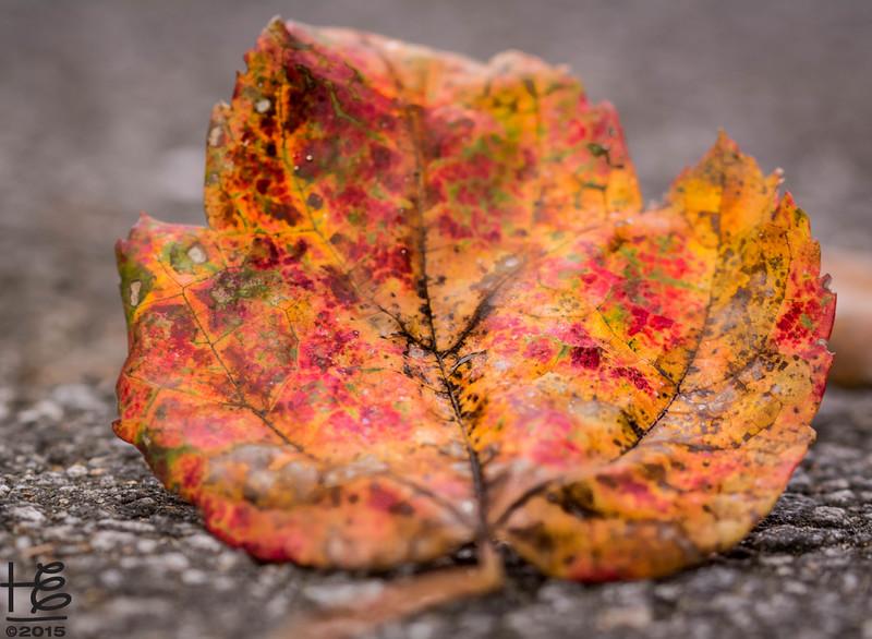 Fall leaf on road