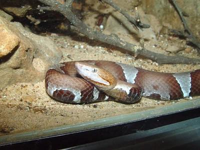 Agkistrodon c. pictigaster