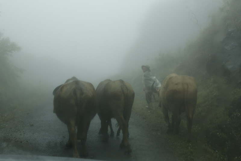 Farmer leads cattle in mountain fog