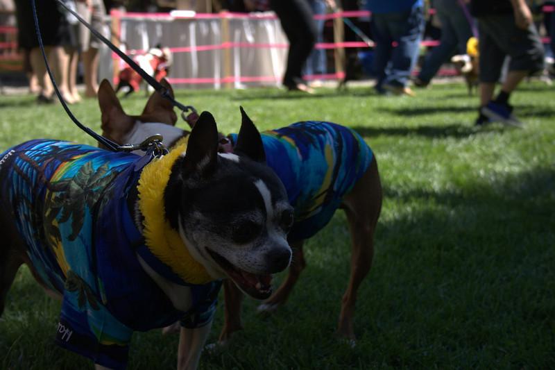 boston terrier oct 2010 139.jpg