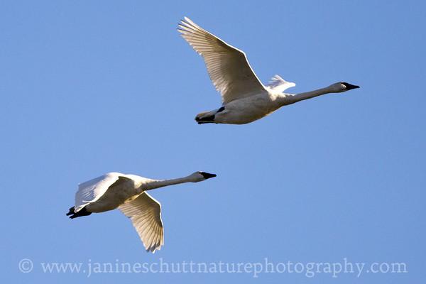 Trumpeter Swan flyover.  Photo taken in Stanwood, Washington.
