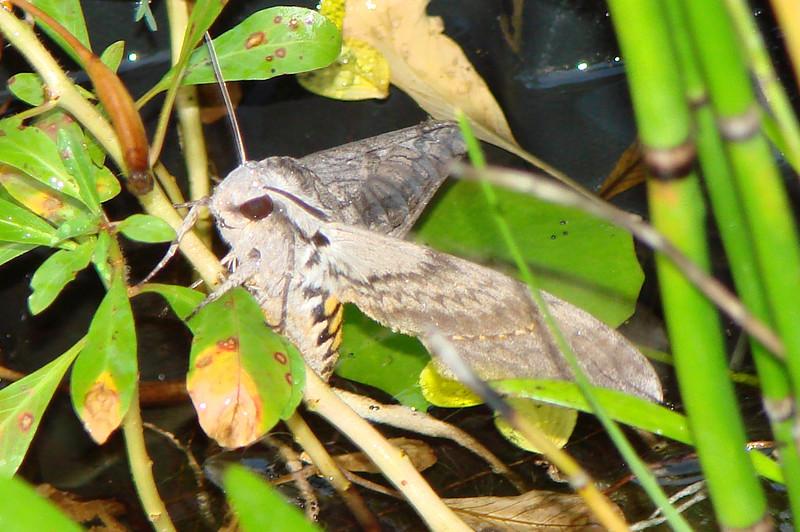 Five-spotted Hawkmoth (Manduca quinquemaculata) MOTH female. TX: Tarrant Co. (Duhons' Fort Worth yard), 11 July 2007.