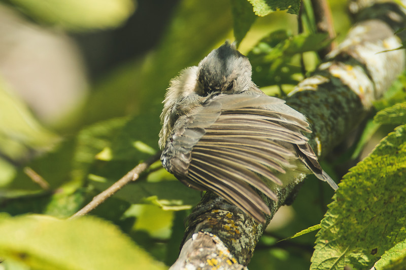 A Tufted Titmouse at the Celery Bog in West Lafayette, Indiana.
