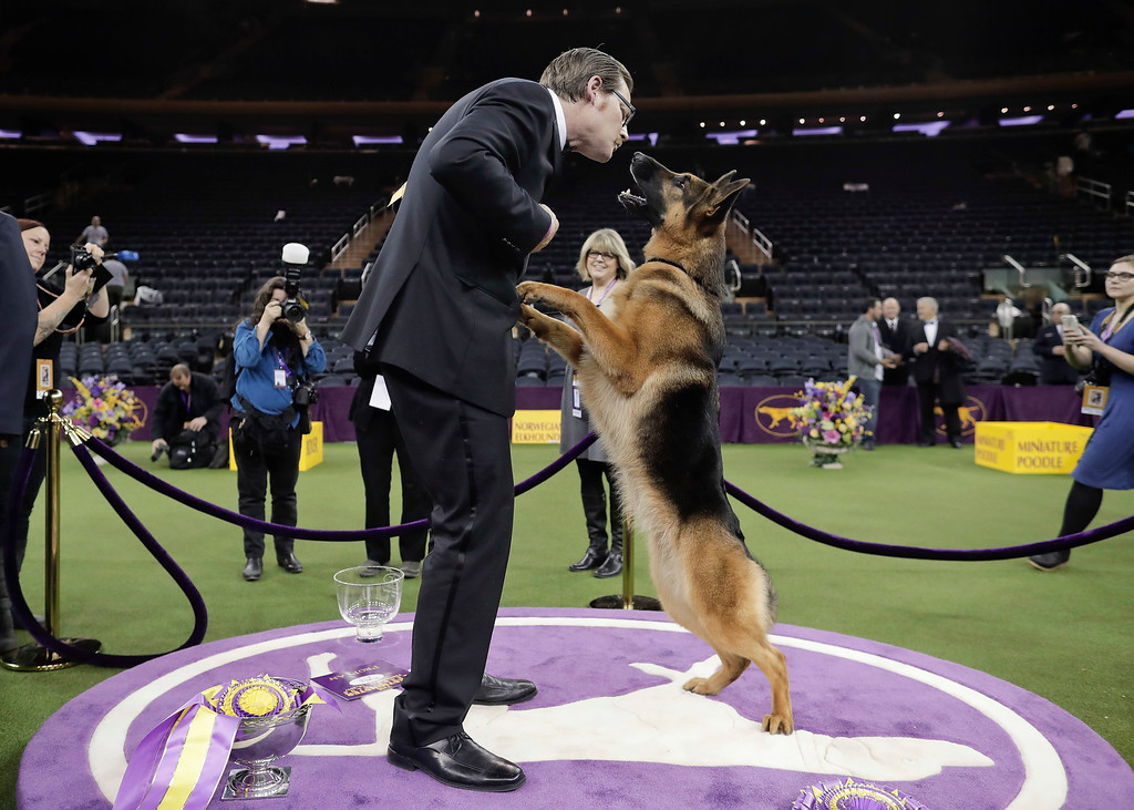 . Rumor, a German shepherd, leaps to lick her handler and co-owner Kent Boyles on the face after winning Best in Show at the 141st Westminster Kennel Club Dog Show, early Wednesday, Feb. 15, 2017, in New York. (AP Photo/Julie Jacobson)