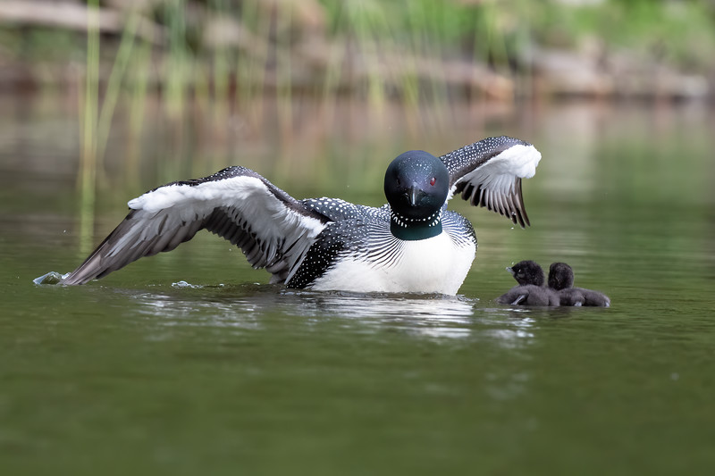#1461 Common Loon and Chicks