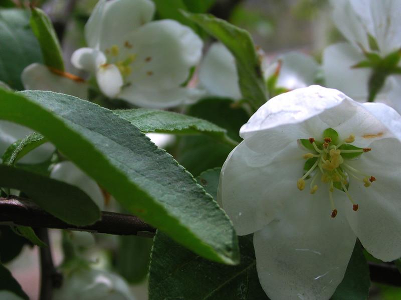 white bloom53.JPG