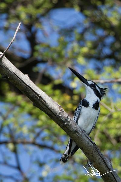 KingfisherS-3.jpg