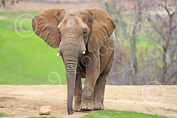 African Elephant Wildlife Photography