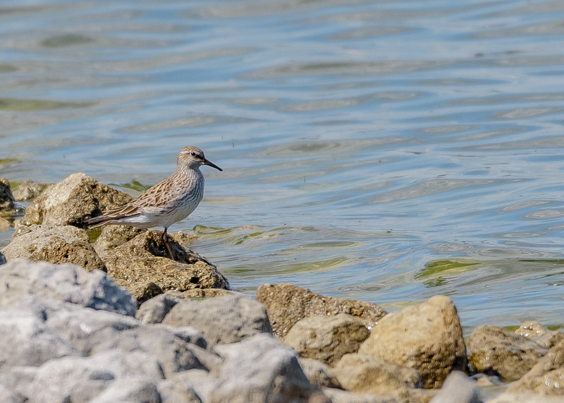 White-rumped Sandpiper at Wakarusa WWTF, Wakarusa, IN
