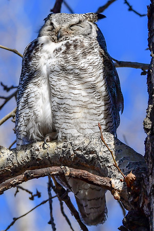 4-23-18 Great Horned Owl Family