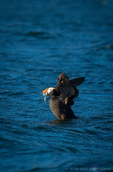 Puffin - Protection Island, WA