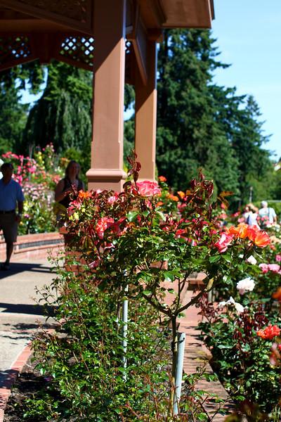 Portland International Rose Test Garden  2248.jpg