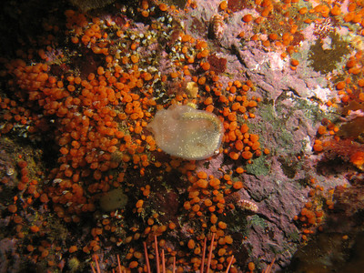 Other Tunicates