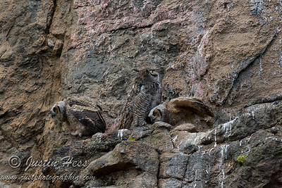 Great Horned Owls 05-30-2017