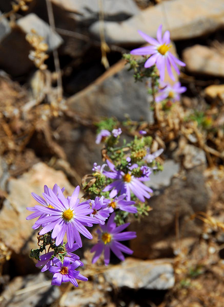 9/20/07 – It's been very hot and extremely dry but this wild flower figured out some way to spring up in the shale on the foothills.