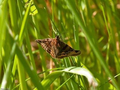 Noctuid-Moths(Noctuidae)