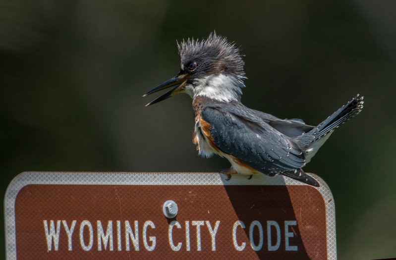 wyoming kingfisher developed.jpg