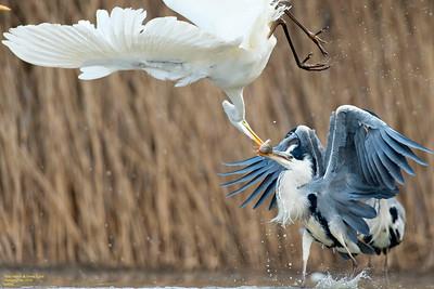 Grey Herons Vs. Great Egrets