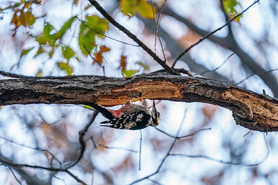 White-backed Woodpecker [Dendrocopos leucotos]