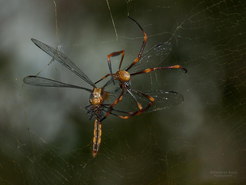 Orb-web Spider, Nudgee Beach, QLD, Feb 2011-1.jpg