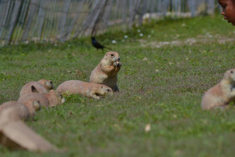0 20150825 sd Prarie Dogs   (22)dianey_1.jpg