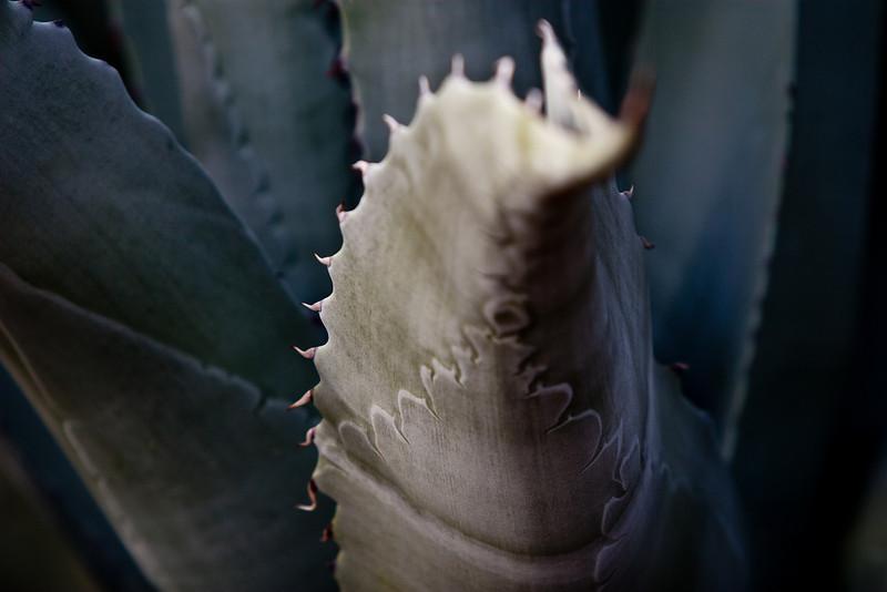 Desert succulent 1