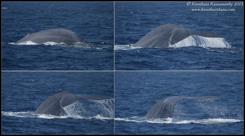 Blue Whale tail fluke, Whale Watching trip, San Diego County, California, August 2015
