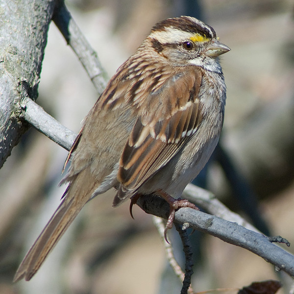White-throated Sparrow  Huntley Meadows