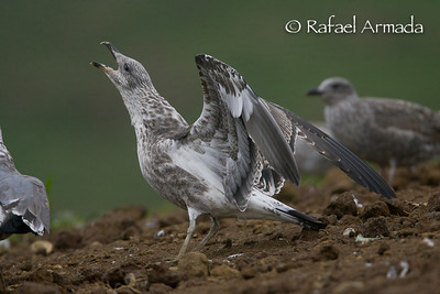 Azorean Yellow-legged Gull (Larus michahellis atlantis)