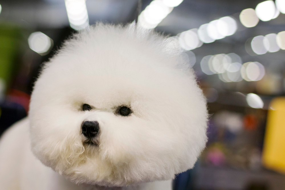 Description of . A Bichon Frise stands in the grooming area during the 137th Westminster Kennel Club Dog Show in New York, February 11, 2013. More than 2,700 prized dogs will be on display at the annual canine competition. Two new breeds, the Russell terrier and the Treeing Walker coonhound, will be introduced in the contest. REUTERS/Lucas Jackson