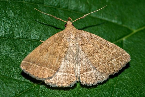 Zanclognatha jacchusalis - Wavy-lined Zanclognatha (USA)