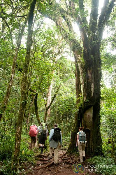 Walking to Mandara Huts - Mt. Kilimanjaro, Tanzania